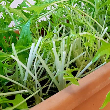 Mizuna zur Ernte knapp über dem Boden abscheiden
