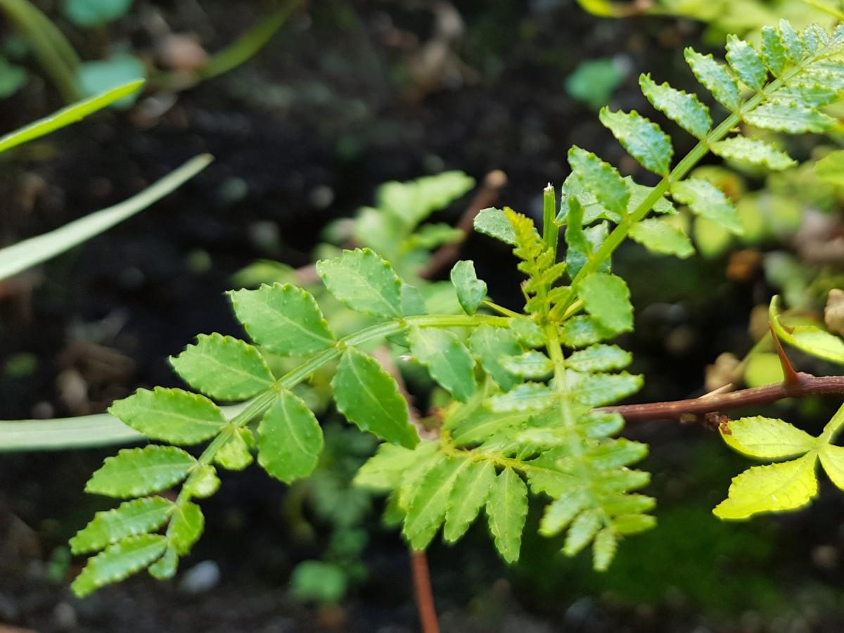 Blätter des Bergpfeffers
