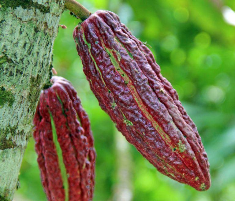 Warum wir Kakaopulver von Domori verwenden (Teil 2)
