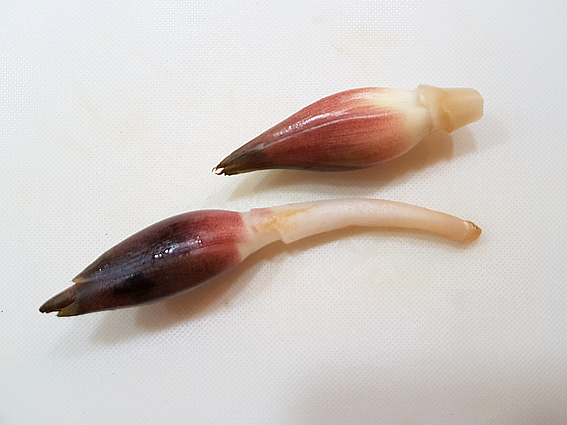 Myoga-Zwiebeln