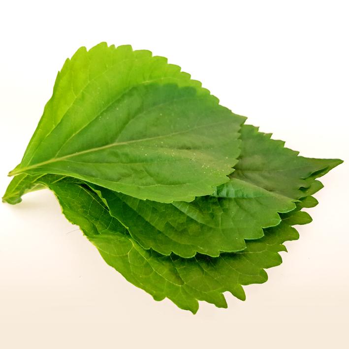 Shiso-Blätter aus meinem Balkonanbau