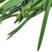 Kräuter und Gemüse der japanischen Küche im Eigenanbau: Nira