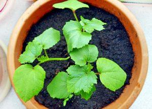 Junge Okrapflanzen nach ca. 5 Wochen