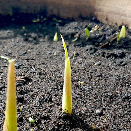 Myoga spriesst Anfang März