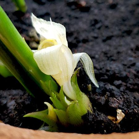 Sprießender, überreifer Myoga mit Blüte