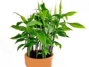 Myoga selber anbauen