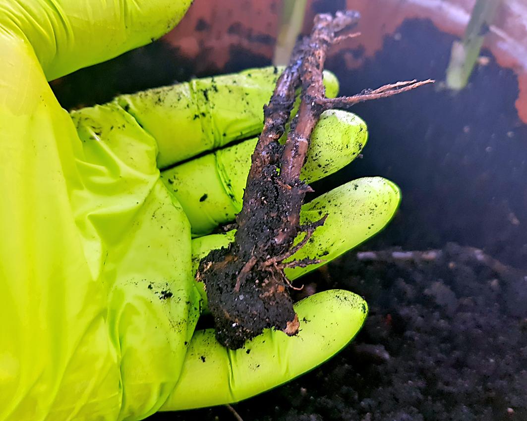 Myoga vermehren