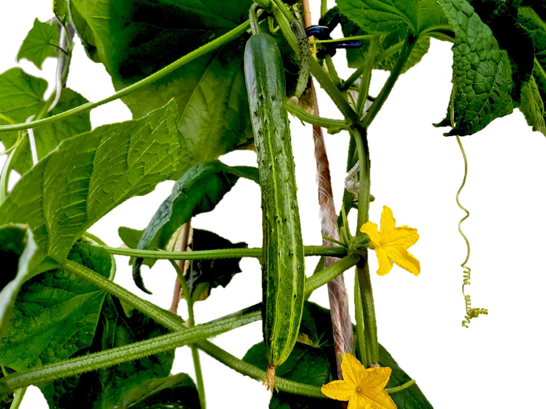 Kräuter und Gemüse der japanischen Küche: Gurke (Kiuri)