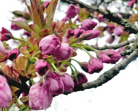 Yae Sakura - die Blütenknospen.