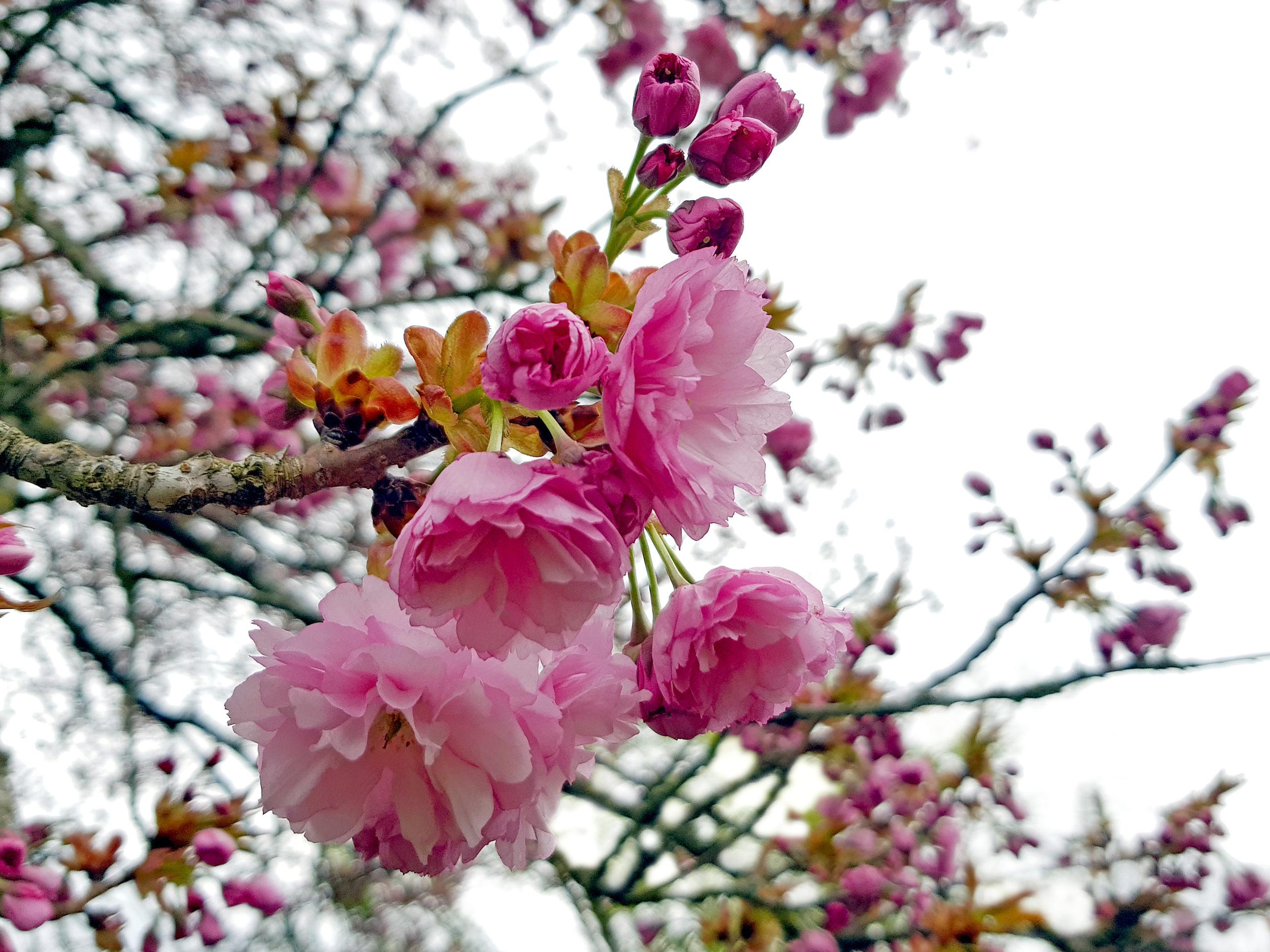 Wagashi mit der japanischen Blütenkirsche (Yae Sakura): Das Ausgangsmaterial wächst auch in Deutschand